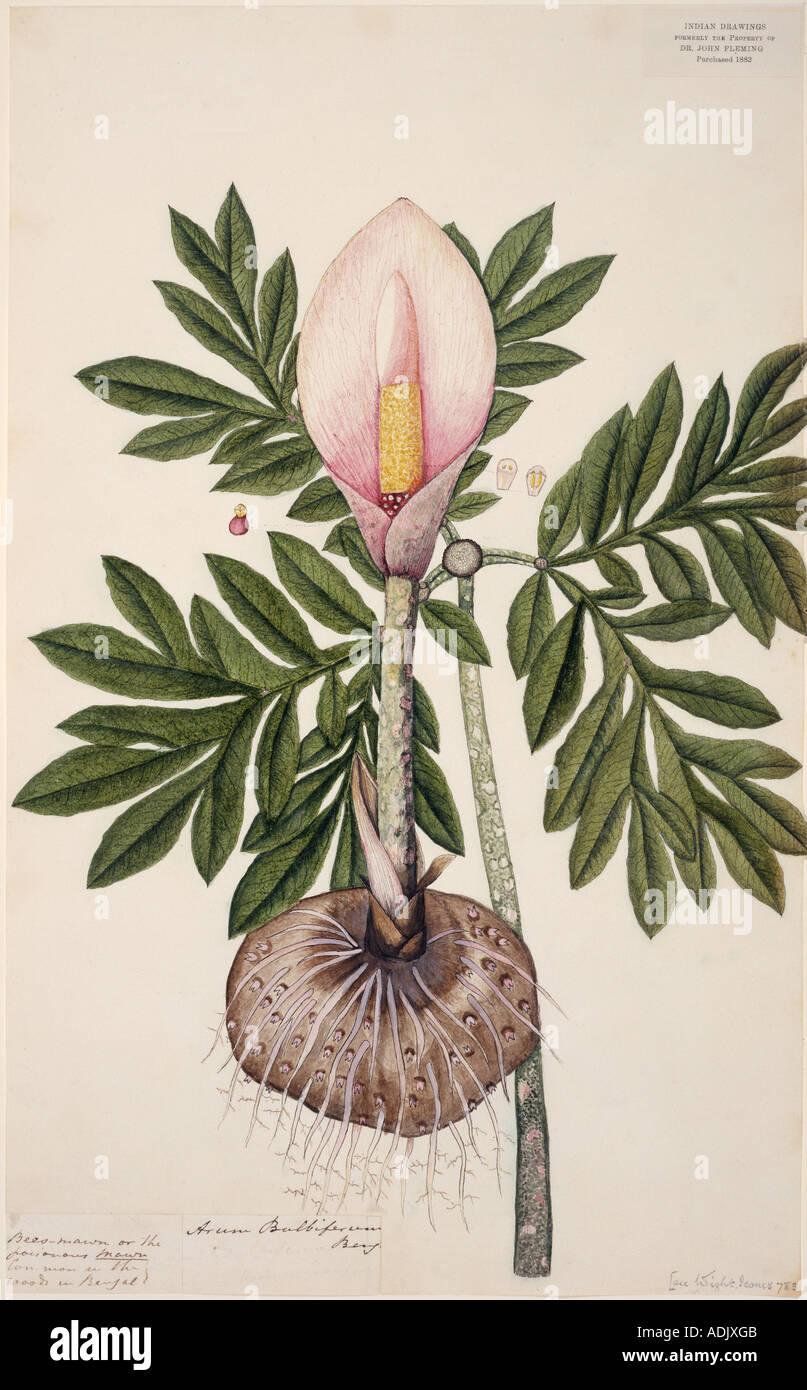 amorphophallus bulbifer voodoo lily stock photo royalty. Black Bedroom Furniture Sets. Home Design Ideas