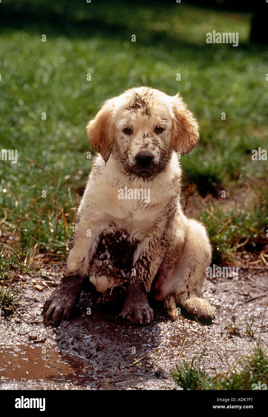 Golden Retriever Dog Puppy In Mud Stock Photo, Royalty Free Image ...