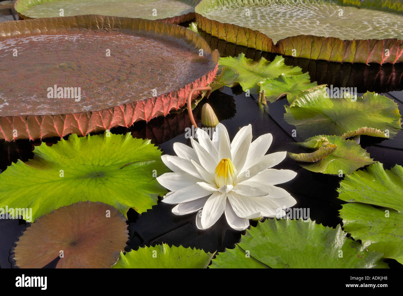 Tropical Lily Bloom And Leaves Of Amazon Lilies Victoria