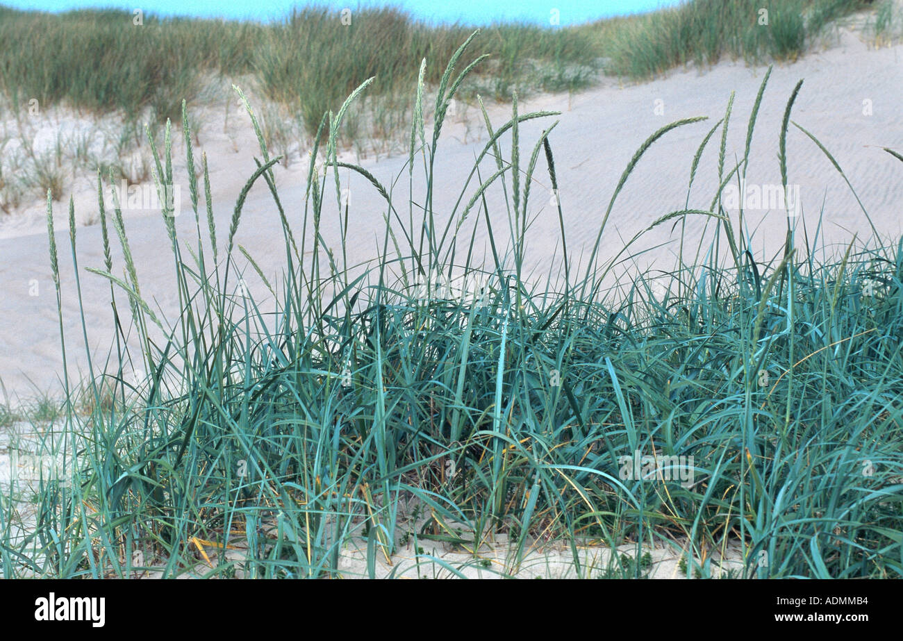 Blue lyme grass blue dune - Blue Lyme Grass Elymus Arenarius Lymus Arenarius Blooming Plant