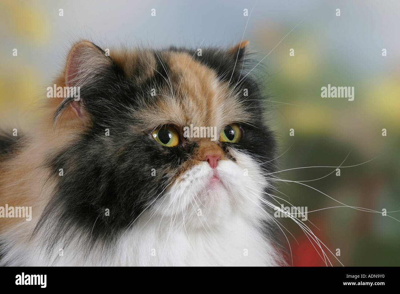 Persian Cat black tortie white Stock Royalty Free Image