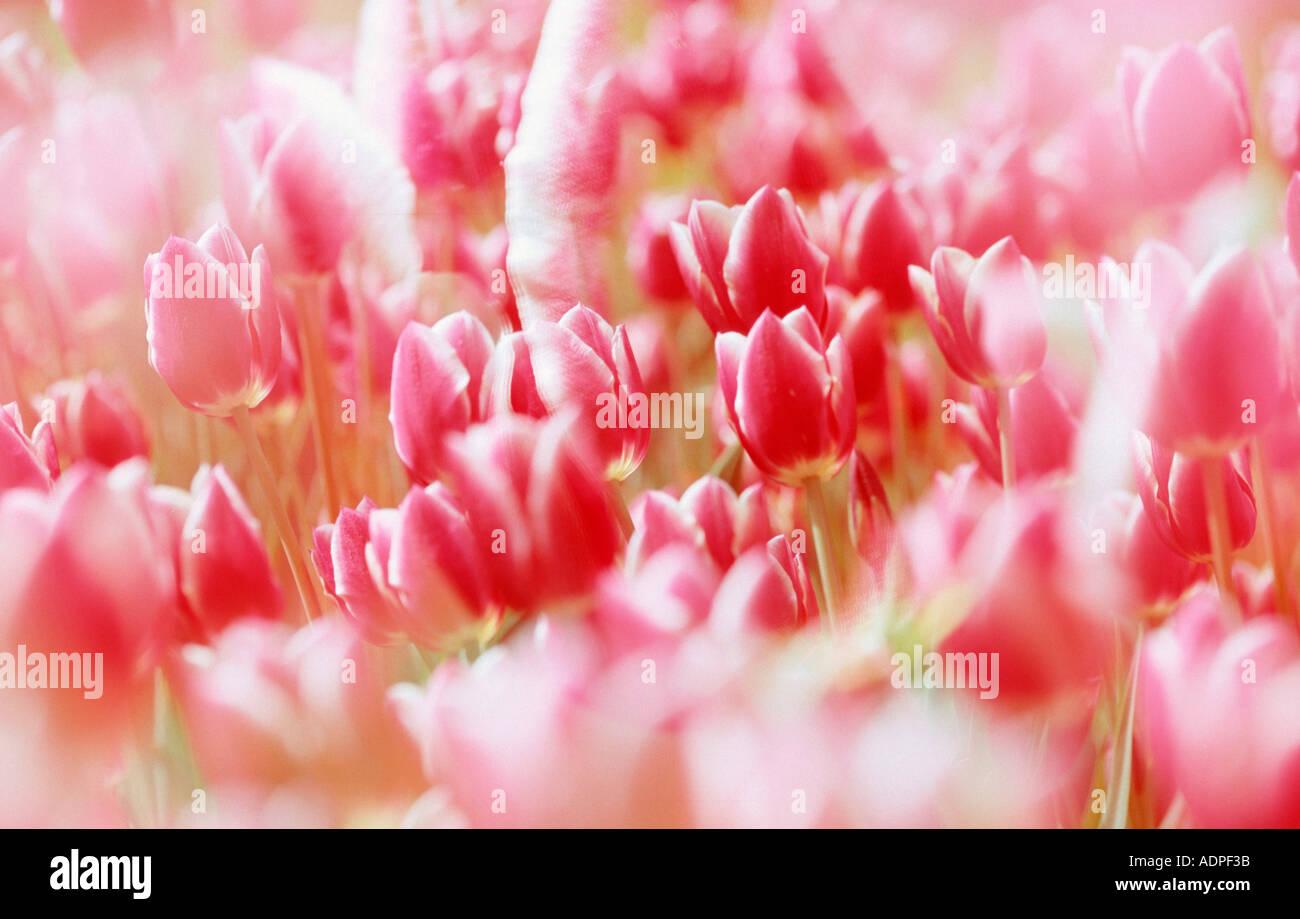 Tulips Tulpen Pflanzen Plants Blumen Flowers Liliengewaechse Stock ... Tulpen Im Garten Pflanzen