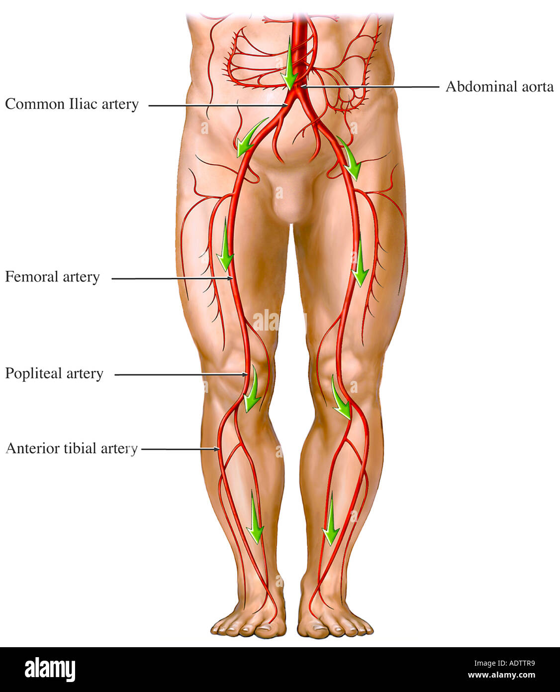 Blood Flow from the Aorta - Artery Circulation of the Legs Stock ...