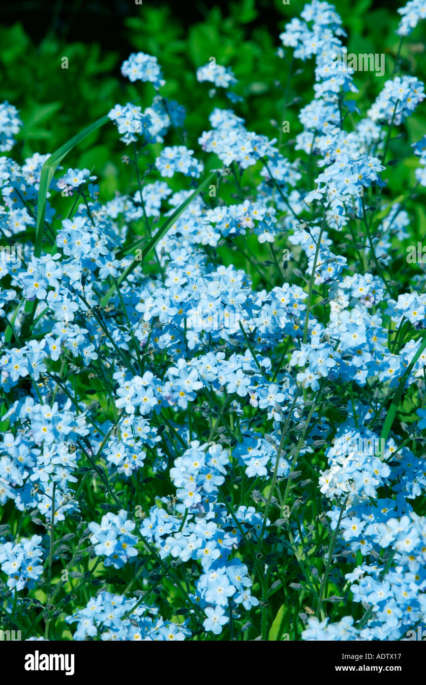 Garden flowers names - Blue Flowers Of Garden Plant Forget Me Not Botanical Name Myosotis Sylvatica Soft Focus