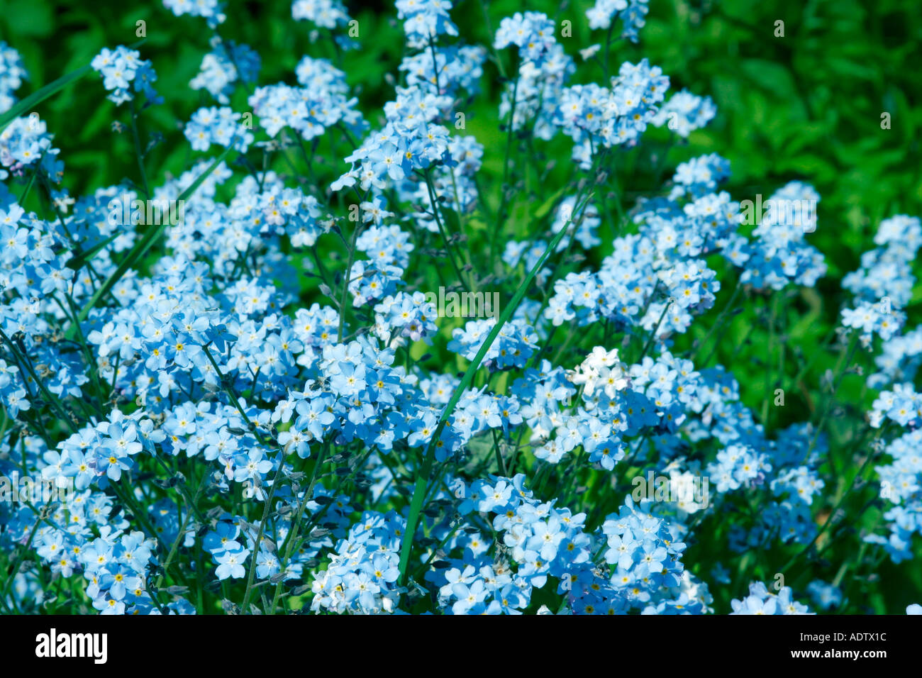 Garden flowers names - Blue Flowers Of Garden Plant Forget Me Not Botanical Name Myosotis Sylvatica