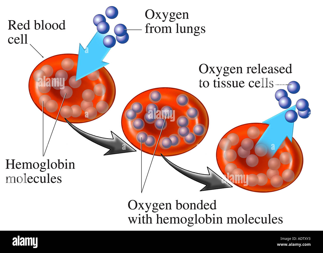 Rbc cell stock photos rbc cell stock images alamy ed blood cell rbc hemoglobin stock image pooptronica Gallery