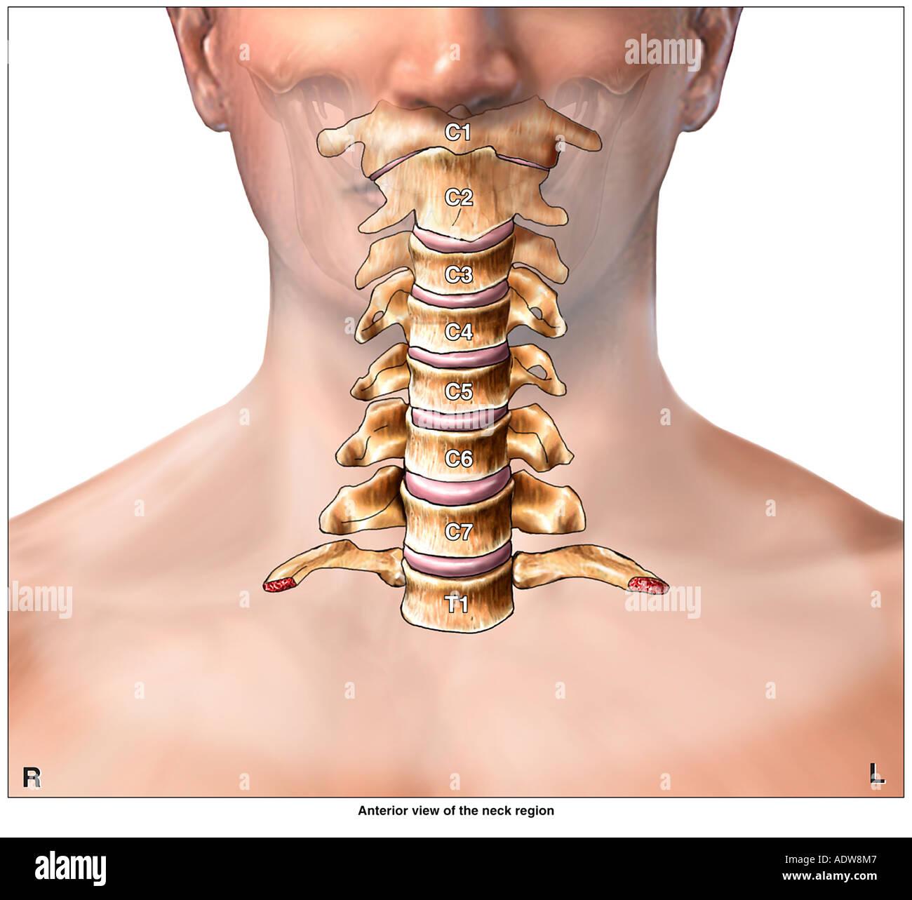 anatomy of the cervical spine region showing neck vertebrae stock, Human Body