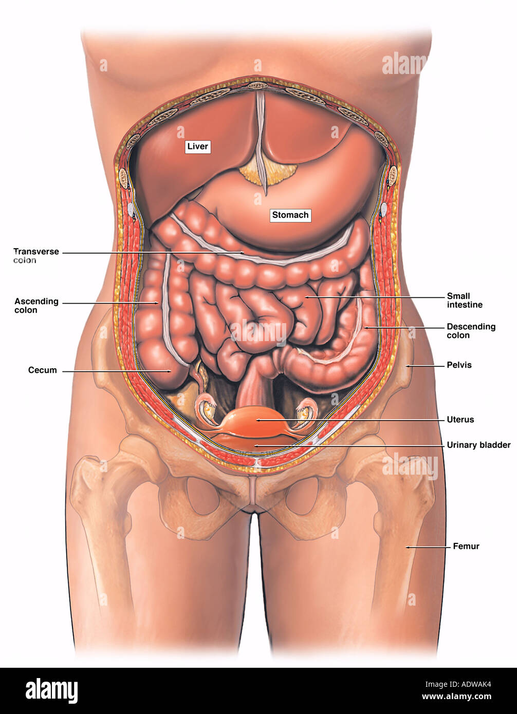 anatomy of the female abdomen and pelvis stock photo, royalty free, Human Body