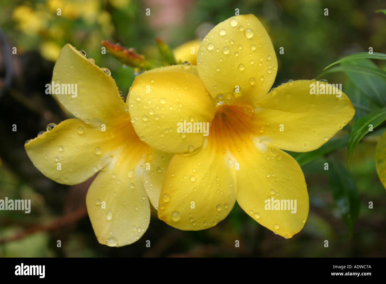 a bright yellow tropical flower nerium oleander bunga jepun with, Beautiful flower