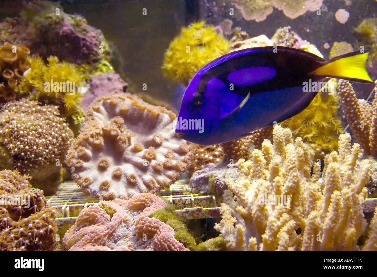 A vibrant blue tang marine fish swims inside a reef tank for Fish stores in utah