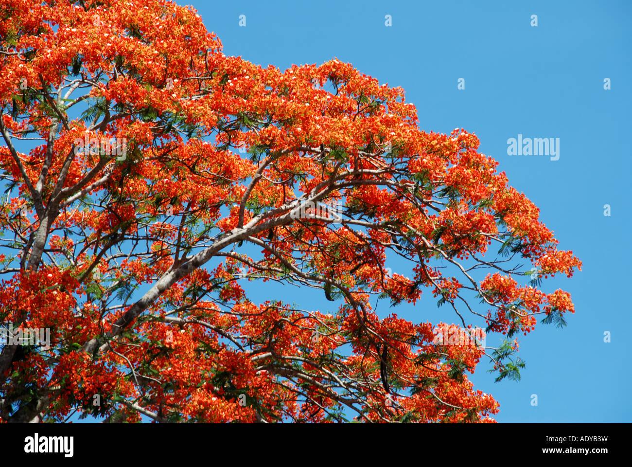 top of the vaka tree on spring season in kerala stock photo