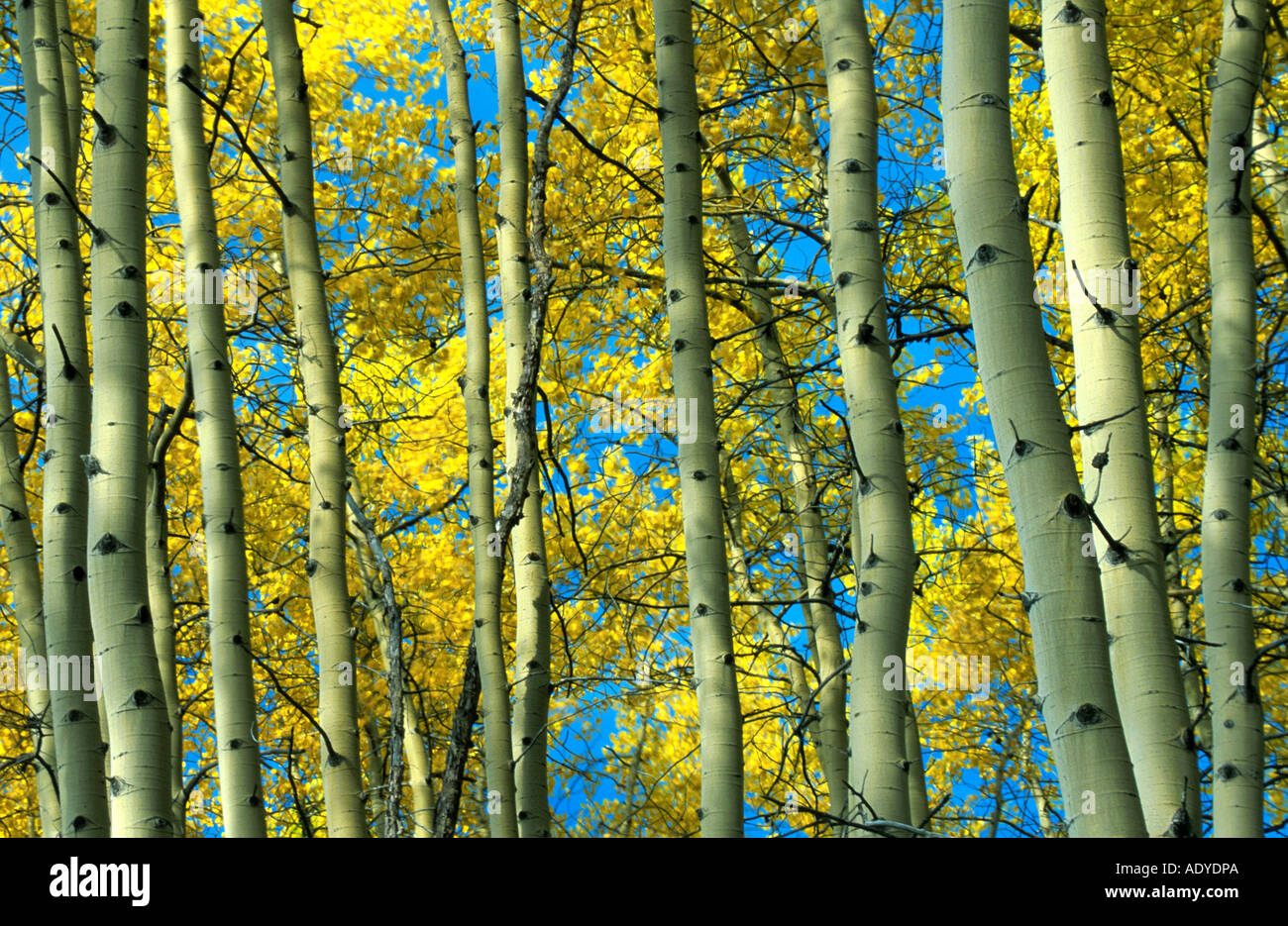 birch tree forest, USA, Alaska, Alaska Highway
