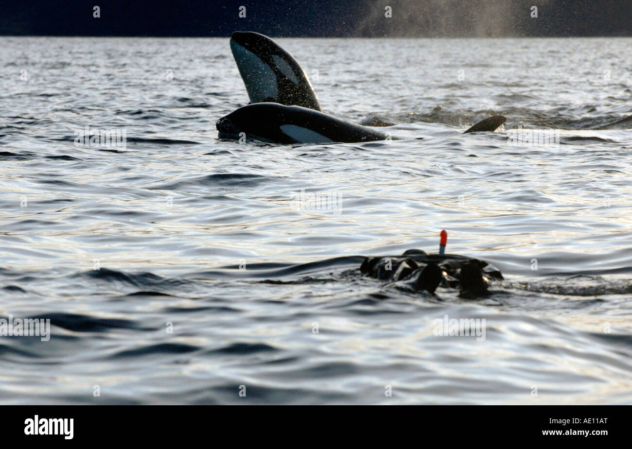 Tysfjord Norway  City pictures : Orcas And A Diver, Tysfjord, Norway Stock Photo, Royalty Free Image ...