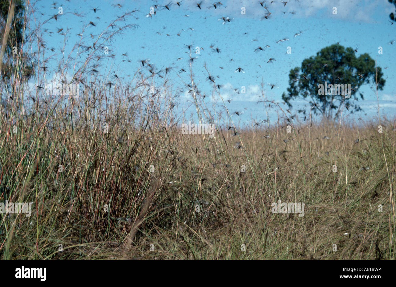 Madagascar east africa insects swarm of locusts in flight across stock photo - Comment repousser les pies ...