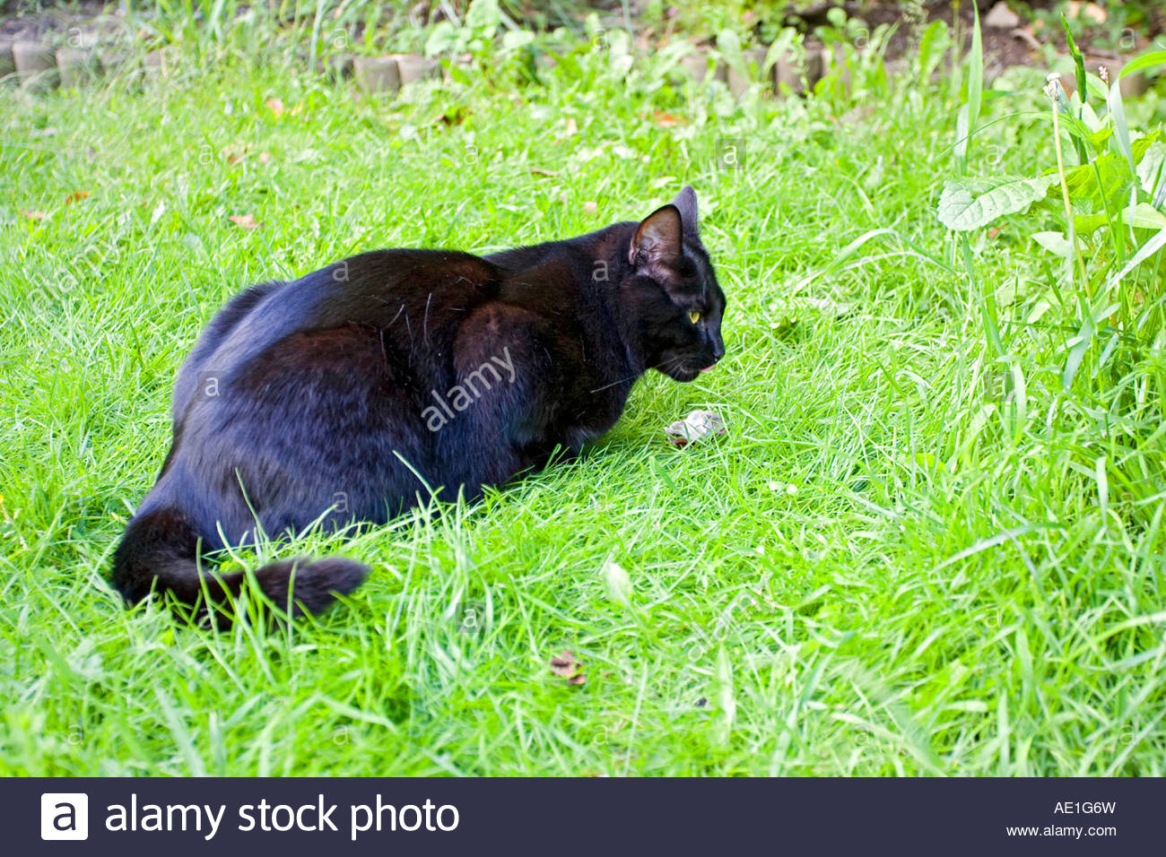 large black British domestic cat playing with woodmouse Stock