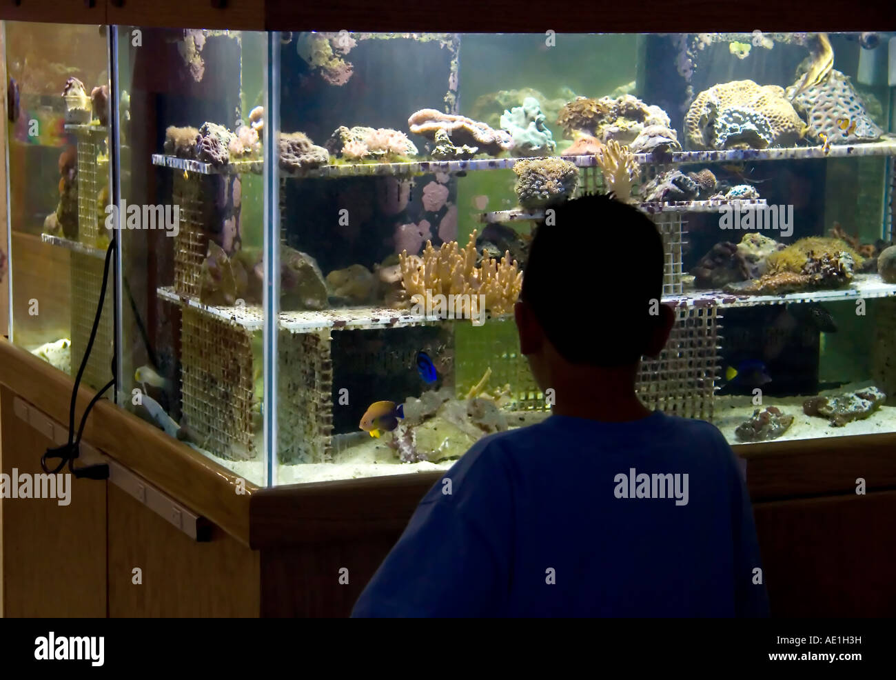 Fish aquarium utah - A Silhouetted Hispanic Boy Gazing Into A Reef Aquarium In A Pet Store In Utah