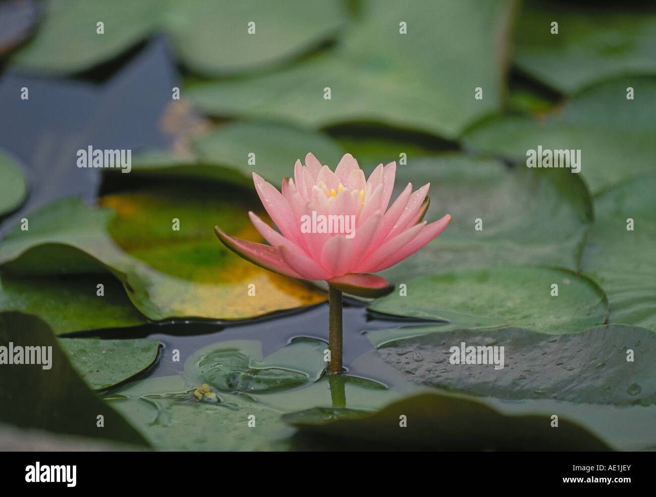 a lotus blossom or water lily growing in a a rain forest pool in, Natural flower
