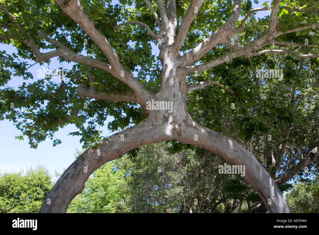 two sycamore trees turned into one tree with an archway trunk at stock photo 13574821 alamy. Black Bedroom Furniture Sets. Home Design Ideas