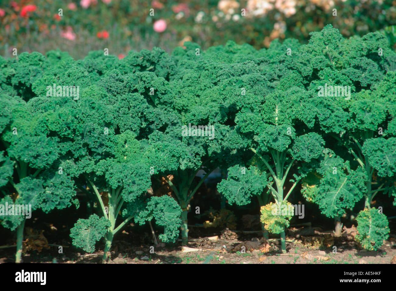 curly kale brassica oleracea var sabellica stock photo. Black Bedroom Furniture Sets. Home Design Ideas