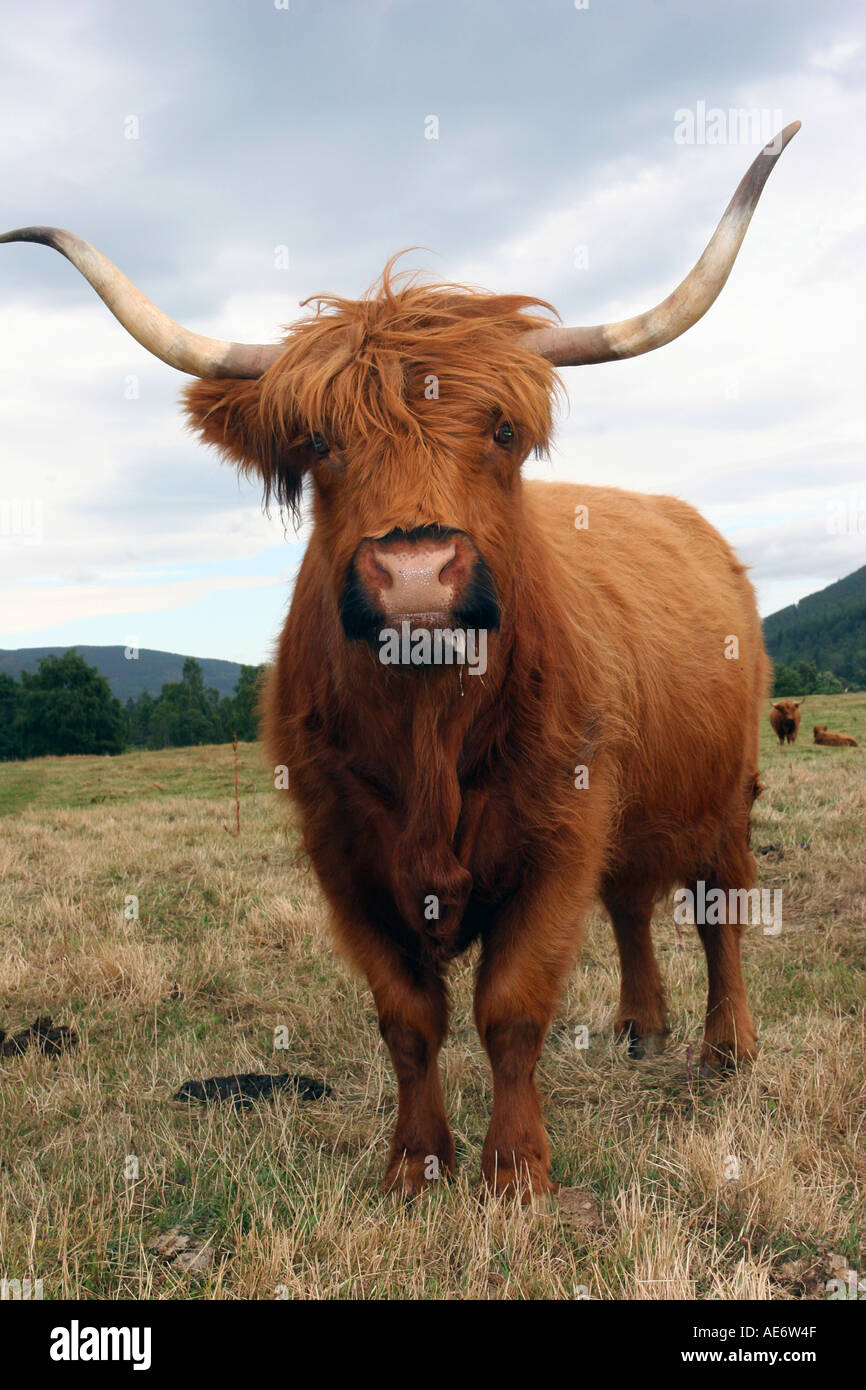 highland cow breed at farm in north eastern aberdeenshire scotland