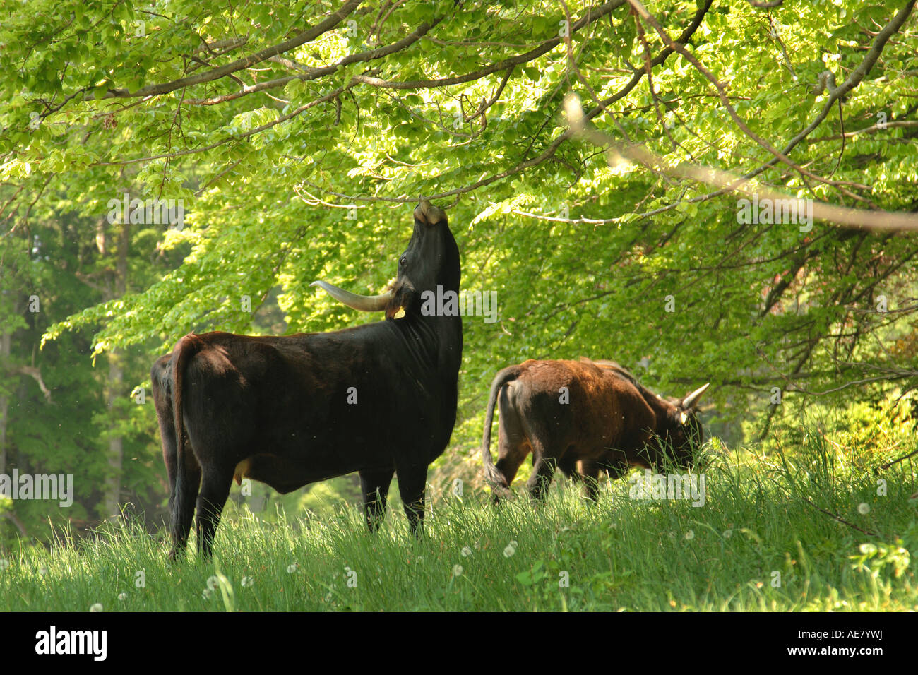 Domestic Cattle Related Keywords & Suggestions - Domestic Cattle Long ...