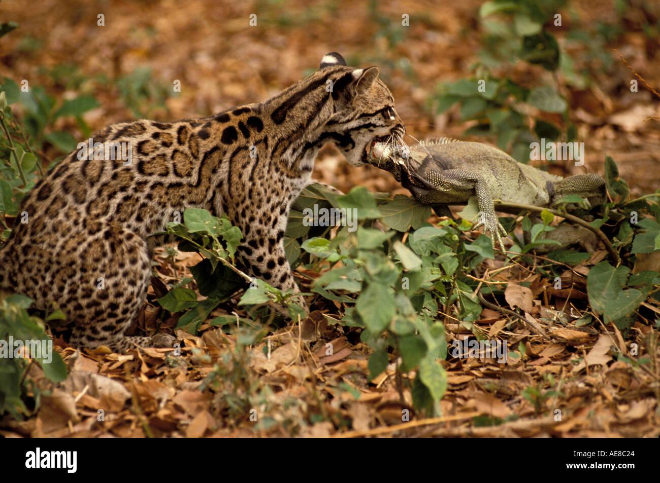 mammal ocelot ocelot and iguana stock photo royalty free