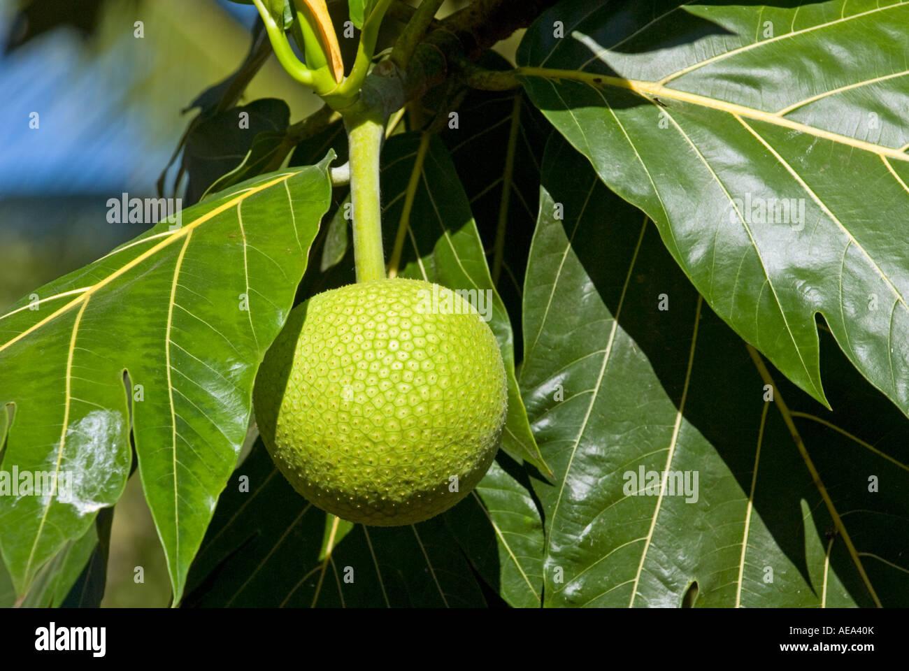 Fiji Islands Breadfruit Bread Fruit Tree Breadfruittree
