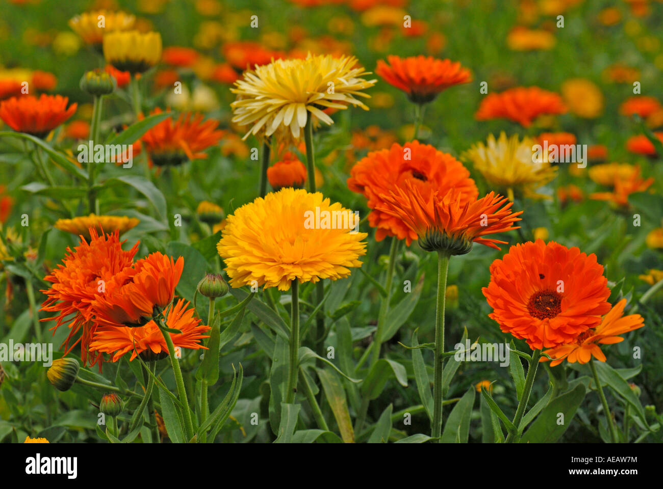 pot marigold english marigold calendula officinalis flowers stock photo royalty free image. Black Bedroom Furniture Sets. Home Design Ideas