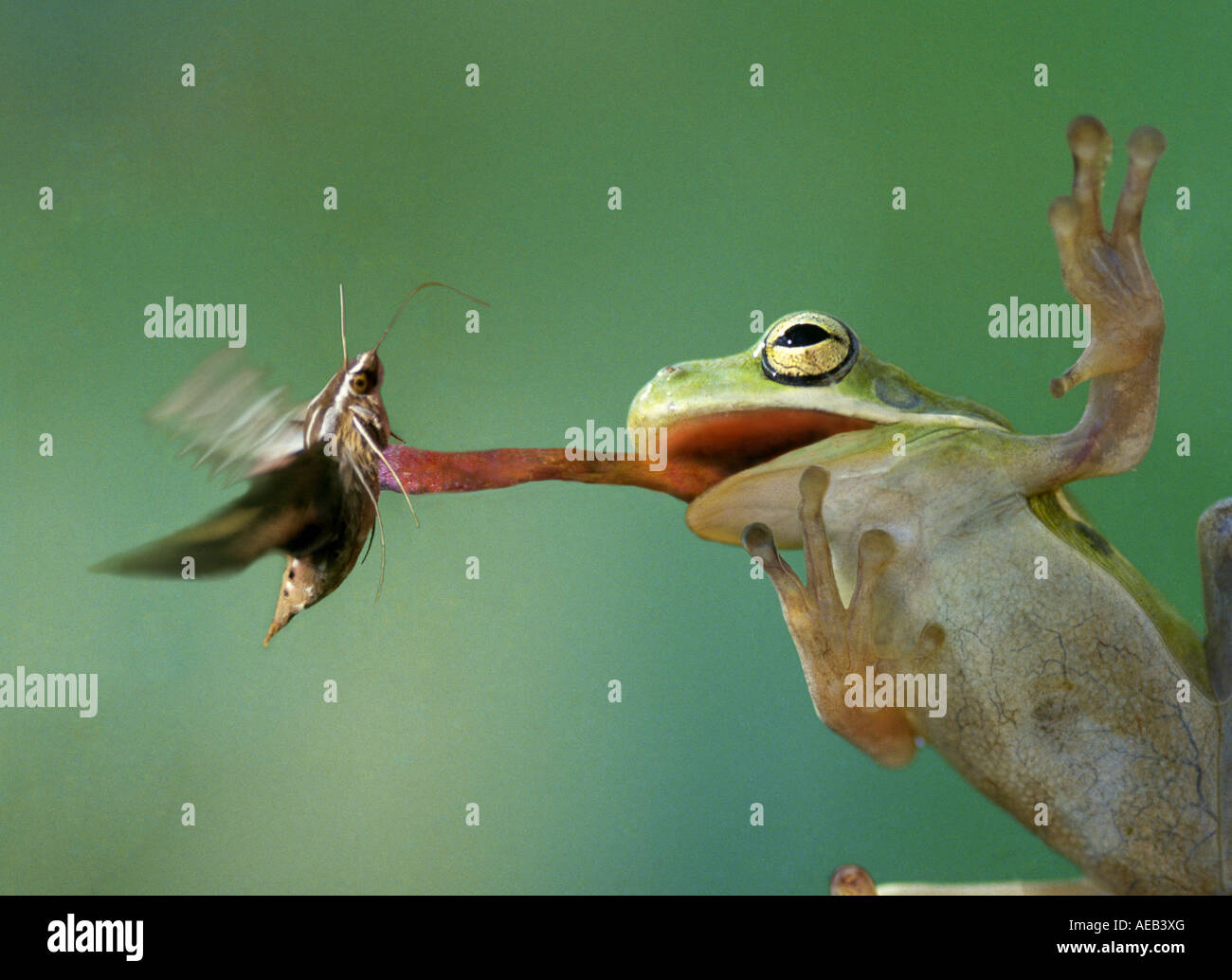 A green tree frog Hyla cinerea snags a hawk moth for ...