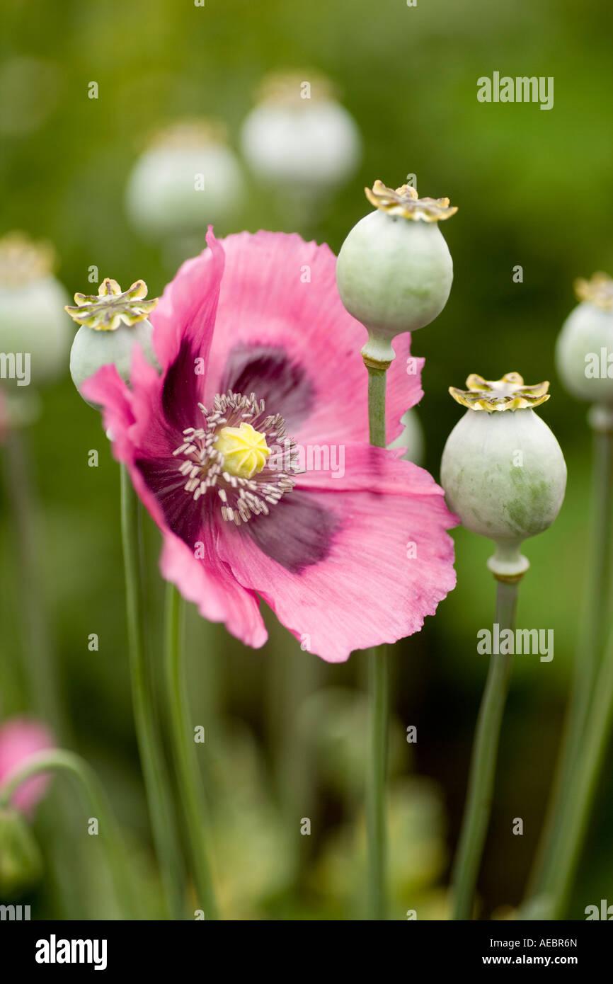 summer garden flowers and seed heads of opium poppy papaver somniferum papaveraceae scotland uk - Garden Flowers