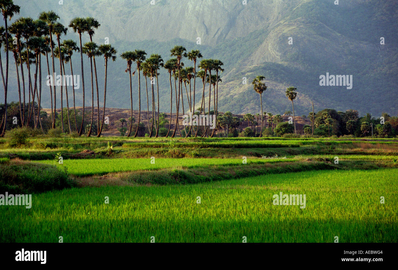 A Lush Green Landscape Of Palghat Of Kerala With Paddy