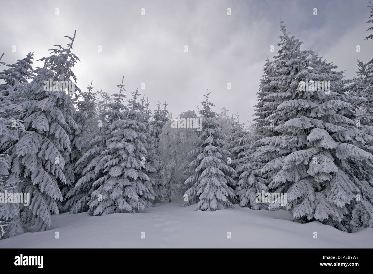 snowy fir trees forest - photo #12