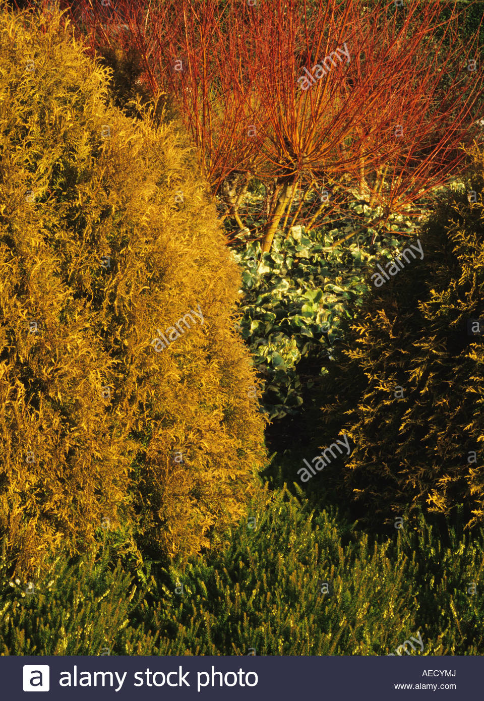 Unusual Cambridge Botanical Garden The Winter Garden Thuja Occidentalis  With Exquisite Cambridge Botanical Garden The Winter Garden Thuja Occidentalis  Ellwqangeriana Aurea Erica X Darleensis George Randall With Delightful Hampstead Hill Gardens Also In The Night Garden Torrent In Addition La Tasca London Covent Garden And Chard Garden Centre As Well As Oriental Garden Design Additionally Low Maintenance Front Garden Ideas From Alamycom With   Exquisite Cambridge Botanical Garden The Winter Garden Thuja Occidentalis  With Delightful Cambridge Botanical Garden The Winter Garden Thuja Occidentalis  Ellwqangeriana Aurea Erica X Darleensis George Randall And Unusual Hampstead Hill Gardens Also In The Night Garden Torrent In Addition La Tasca London Covent Garden From Alamycom