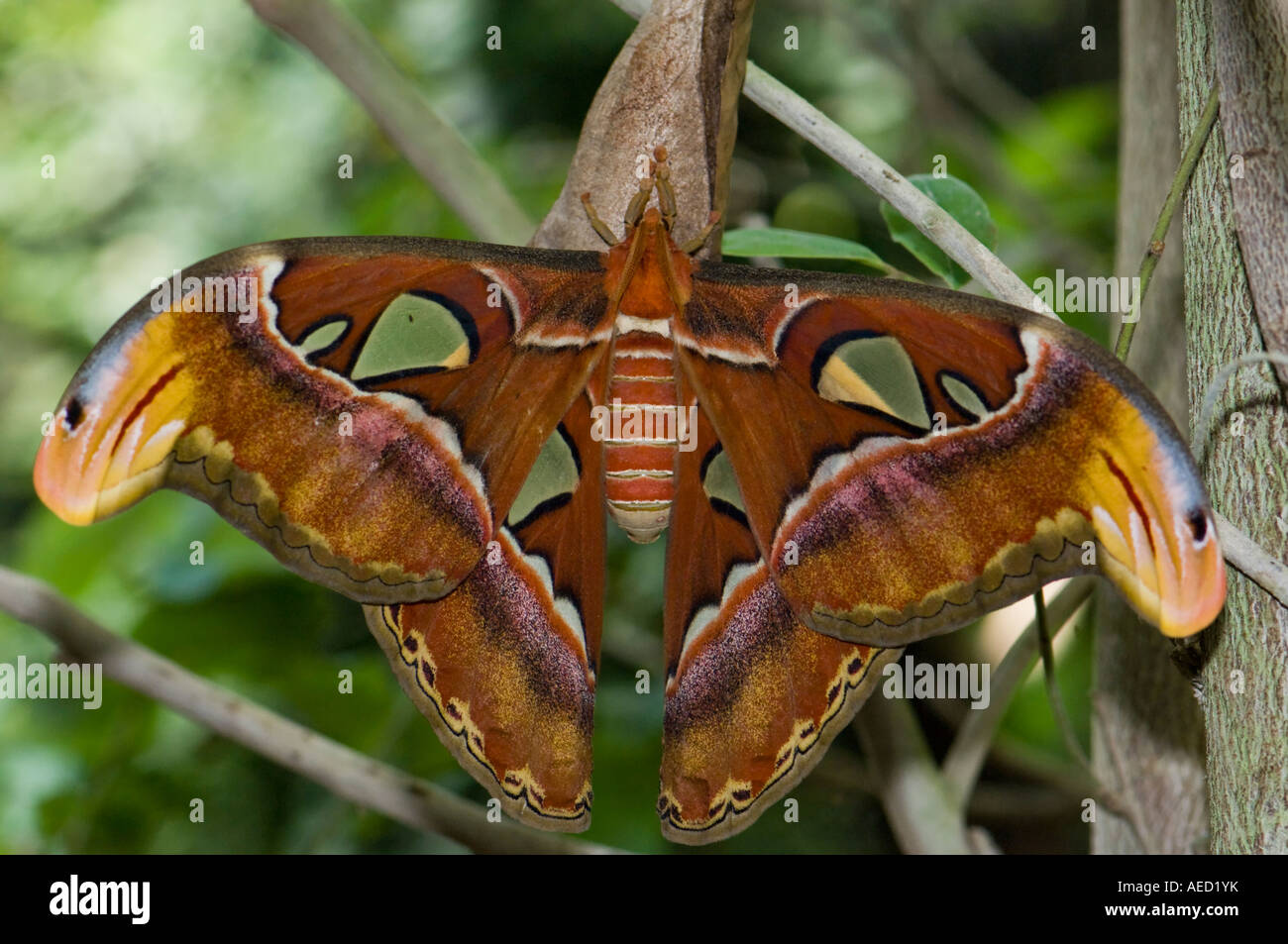 Largest moth in the world - photo#7
