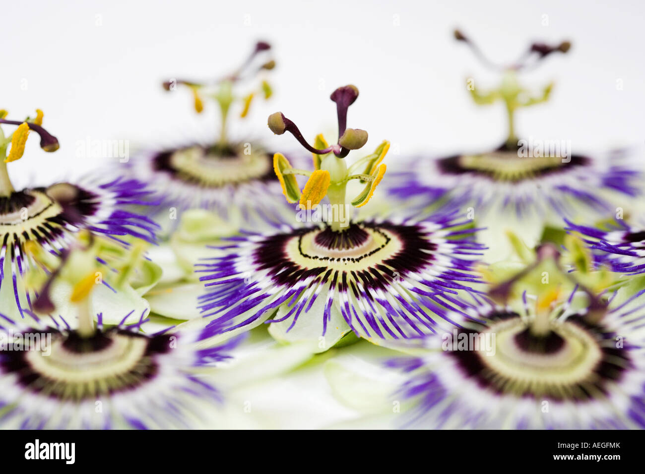 A group of passion flower heads on white background stock photo a group of passion flower heads on white background dhlflorist Images