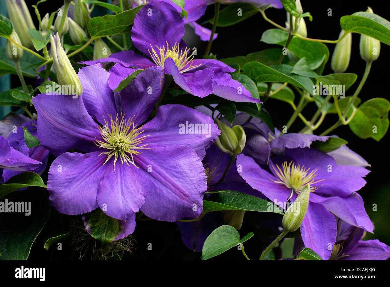 flowering clematis clematis stock photo royalty free. Black Bedroom Furniture Sets. Home Design Ideas