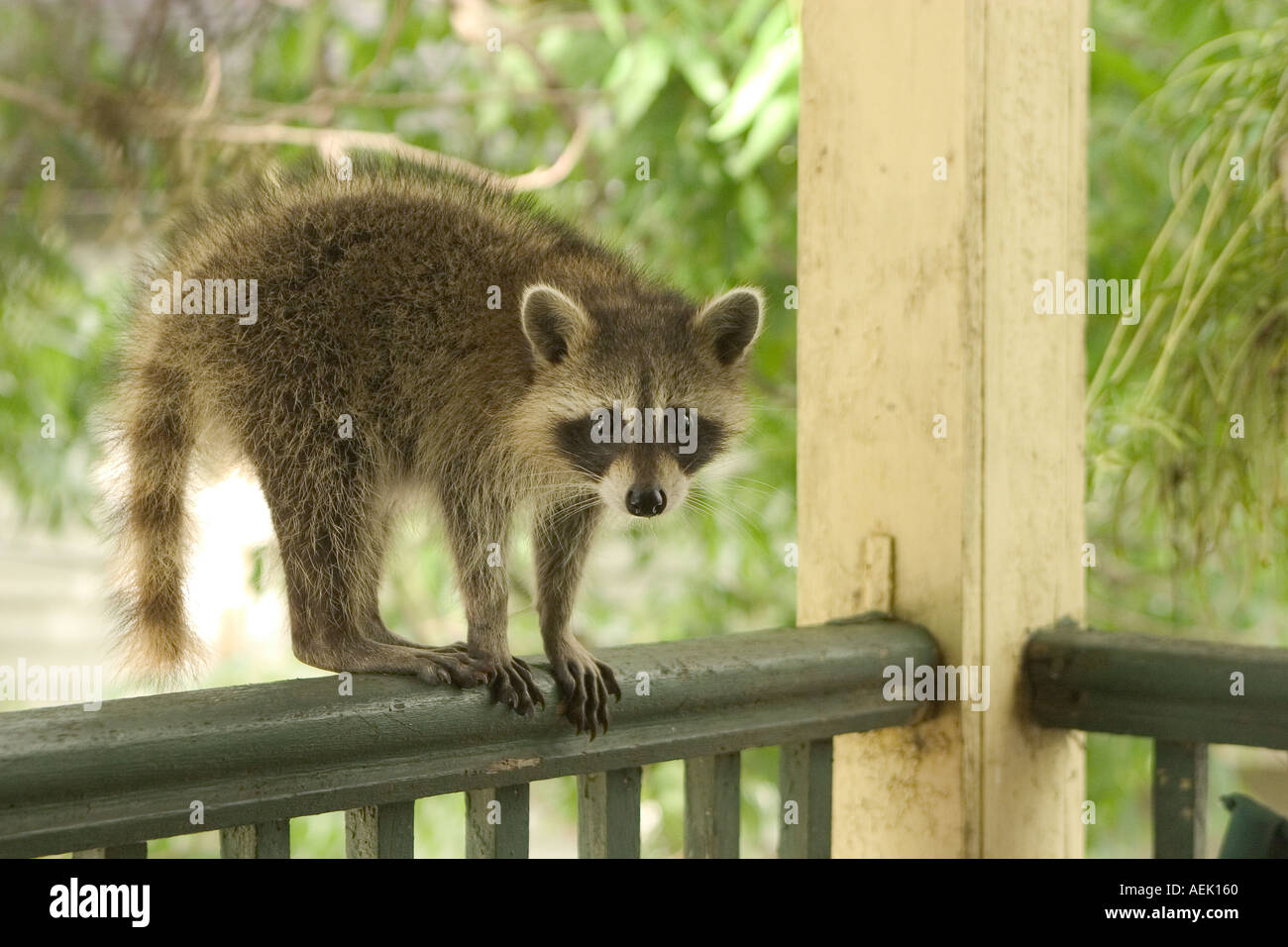 A wild raccoon on my back porch in new orleans louisiana wher a wild raccoon on my back porch in new orleans louisiana wher animals are moving into sciox Image collections