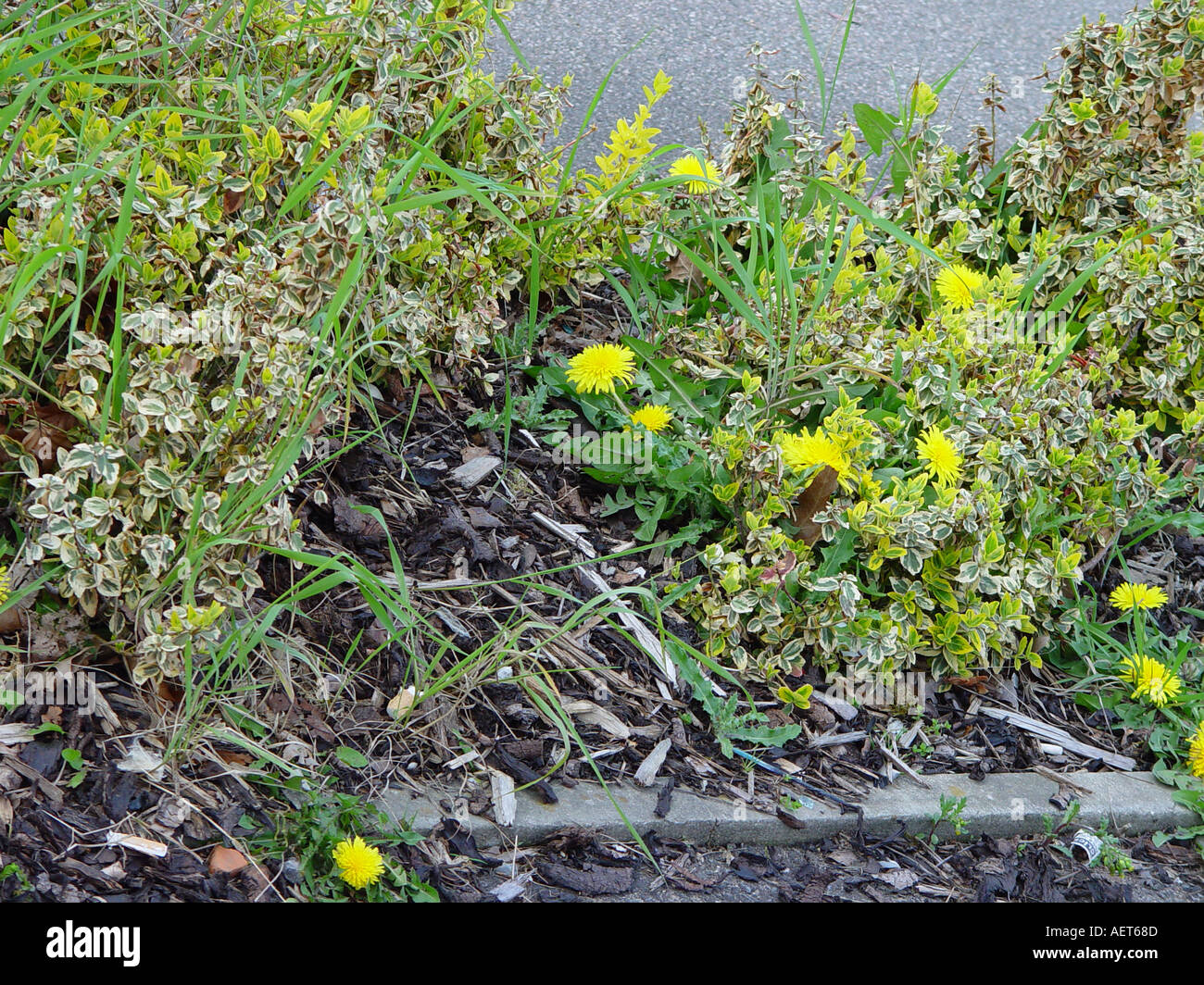 Weeds flower beds - Bark Mulch Weed Supressing Not Working The Weeds Have Grown Through The Bark And Weedblock Sheet Weeds In Flower Bed Shrub Bo