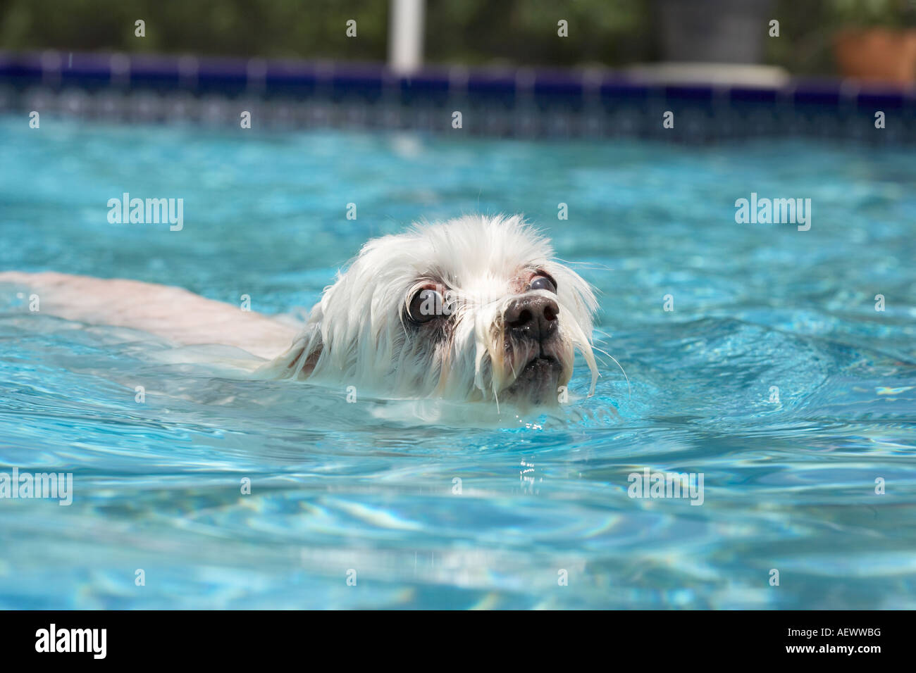 Maltese Dog Swimming In Pool Stock Photo Royalty Free Image 13766163 Alamy