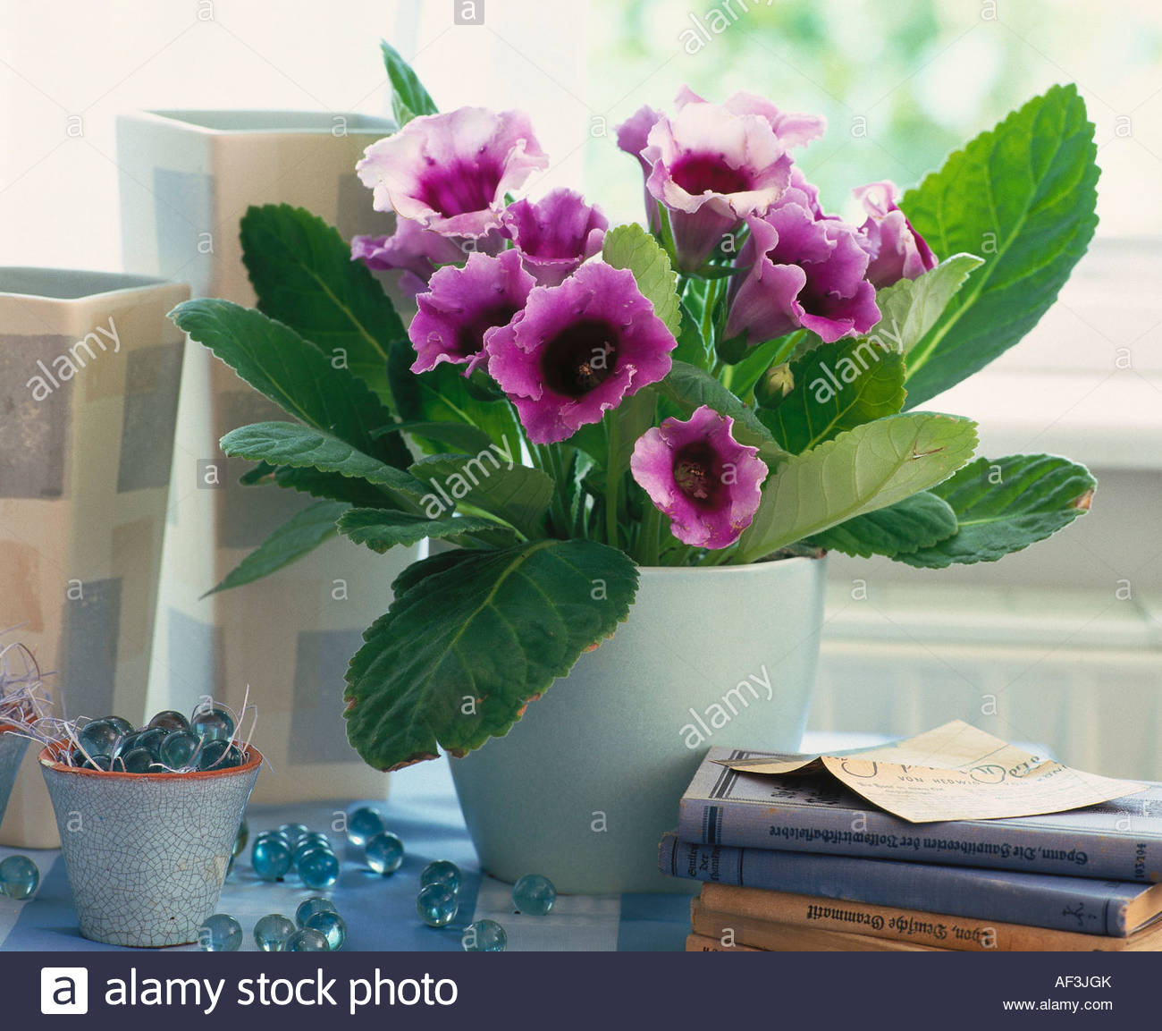 gloxinia (tropical house plant with purple flowers stock photo
