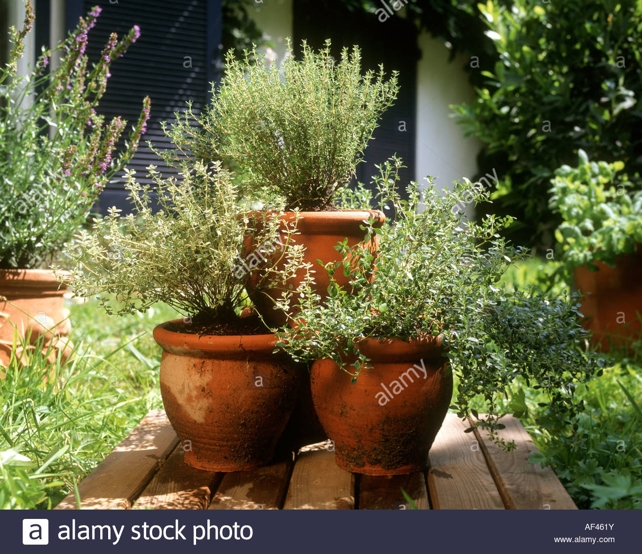 Fresh Herbs In Large Terracotta Pots In Garden Stock Photo