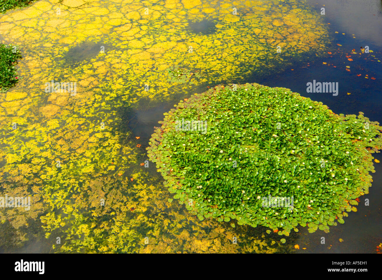 Yellow green algae on water pond stock photo royalty free for Green pond water