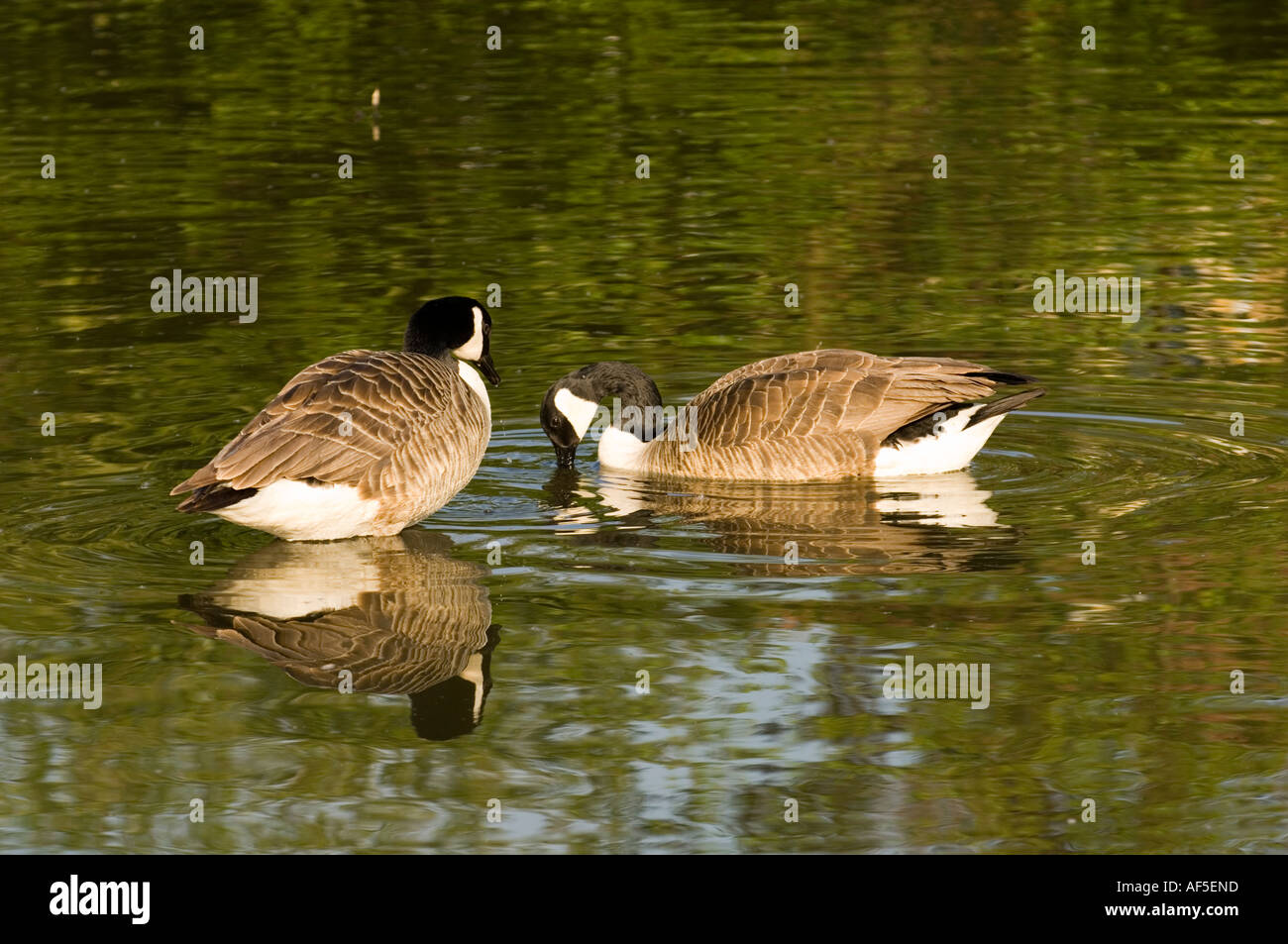 Two 2 ducks swimming in pond sunny animals birds ducks for Pond animals