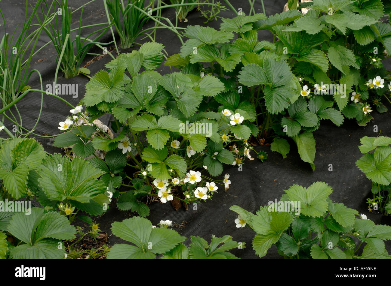 Strawberry plants in flower with black fabric liner mulching to ...