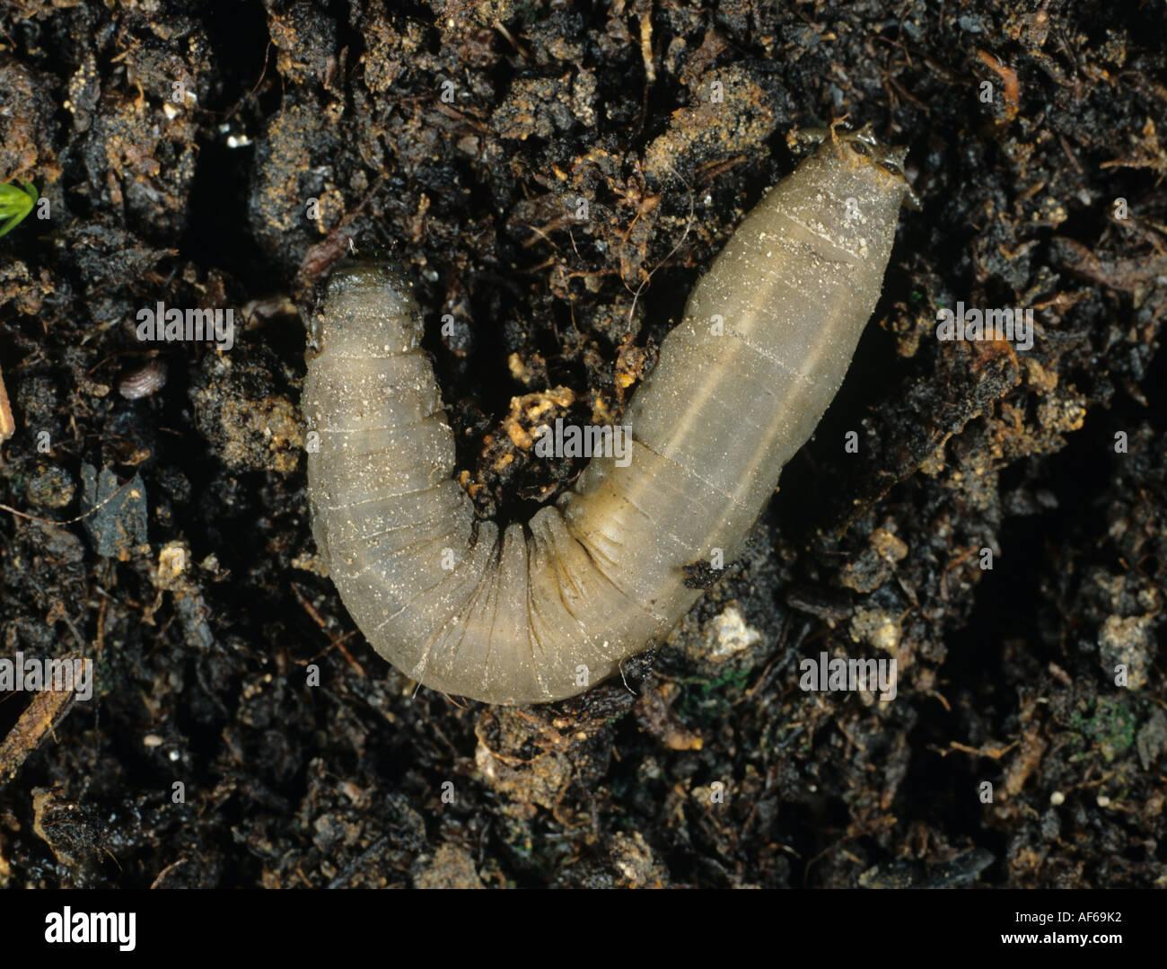 Leather jacket insect - Leatherjacket Tipula Sp Crane Fly Larva On Soil Stock Image