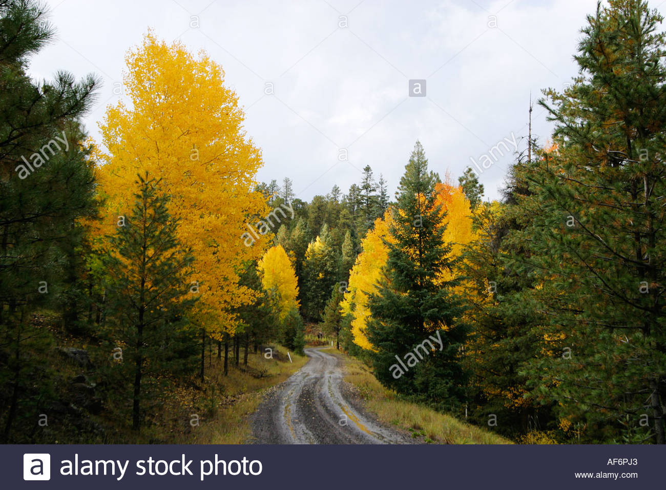aspens-turning-to-fall-colors-along-forest-road-in-apache-national-AF6PJ3.jpg