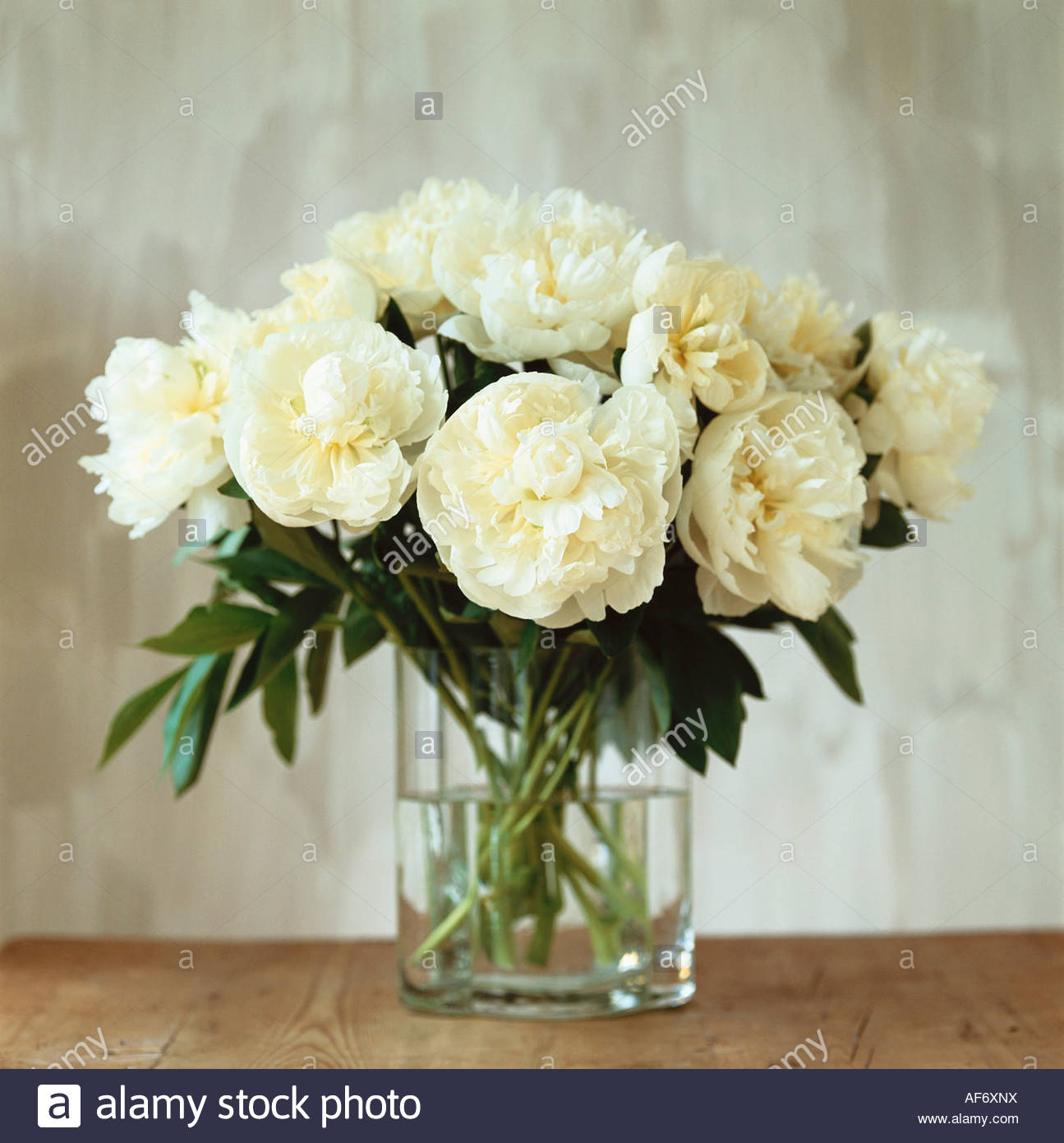 White peonies in a vase stock photo royalty free image 13851301 white peonies in a vase reviewsmspy