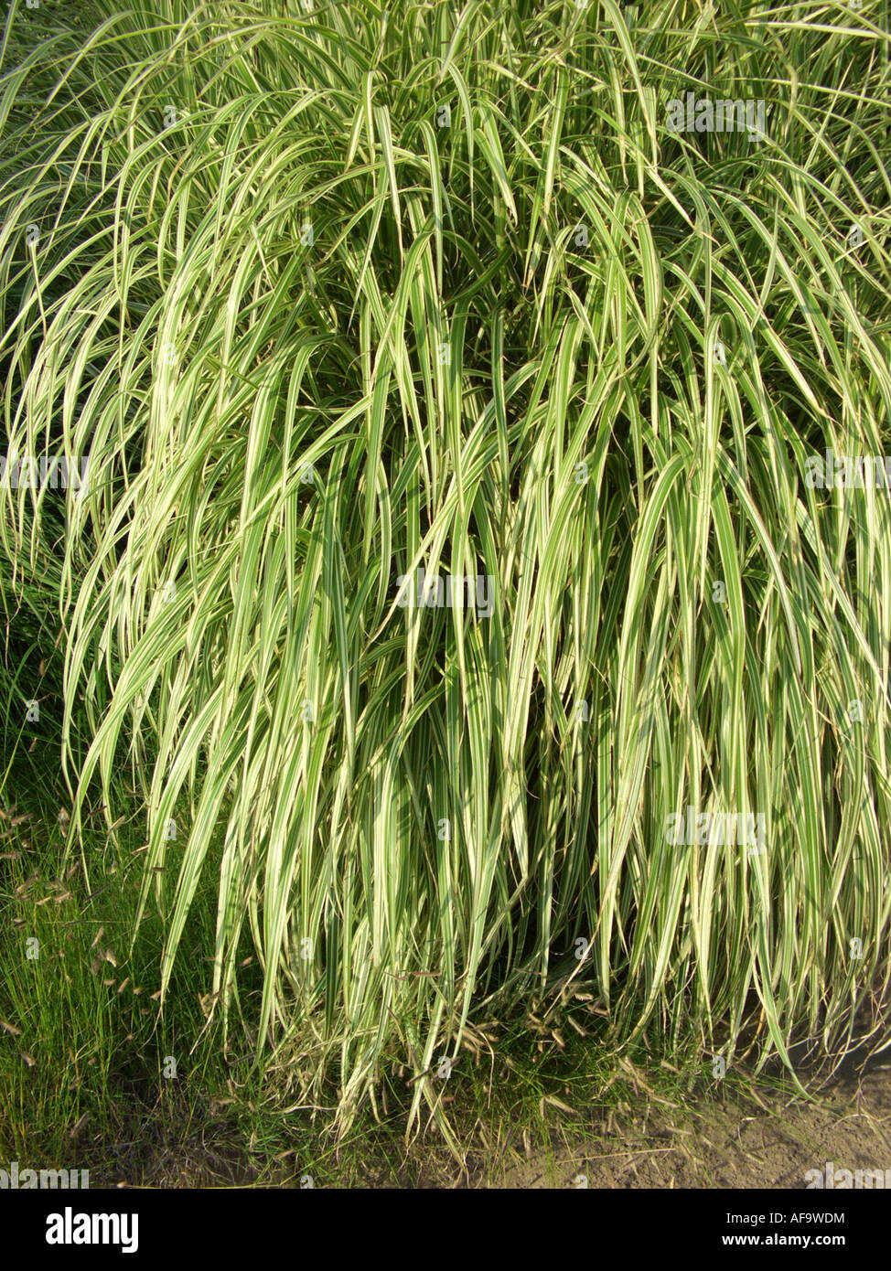 Chinese Silver Grass Chinese silver ...