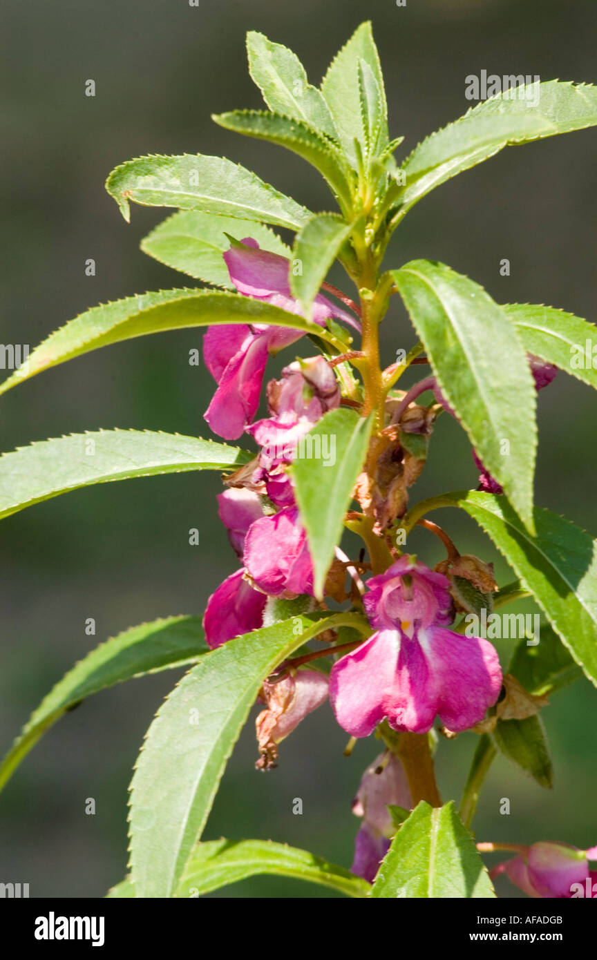Balsaminaceae garden balsam impatiens balsamina l - Spotted Snapweed Or Garden Balsam Or Rose Balsam Balsaminaceae Impatiens Balsamina India China Malasia Stock