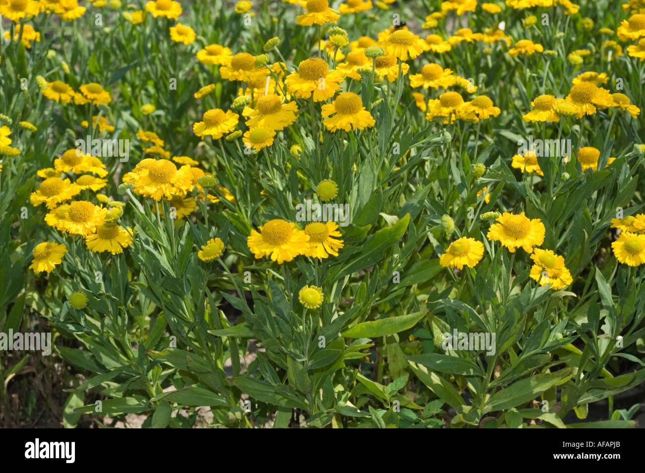 Many yellow flowers of mon sneezeweed Asteraceae Helenium Stock Roy